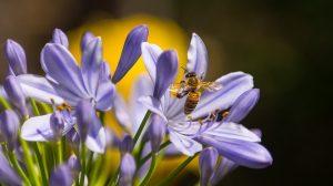 Comment différencier une abeille d'une guêpe ?