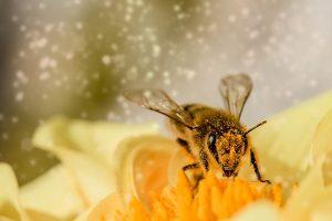 Comment les abeilles créent-elles le miel ?