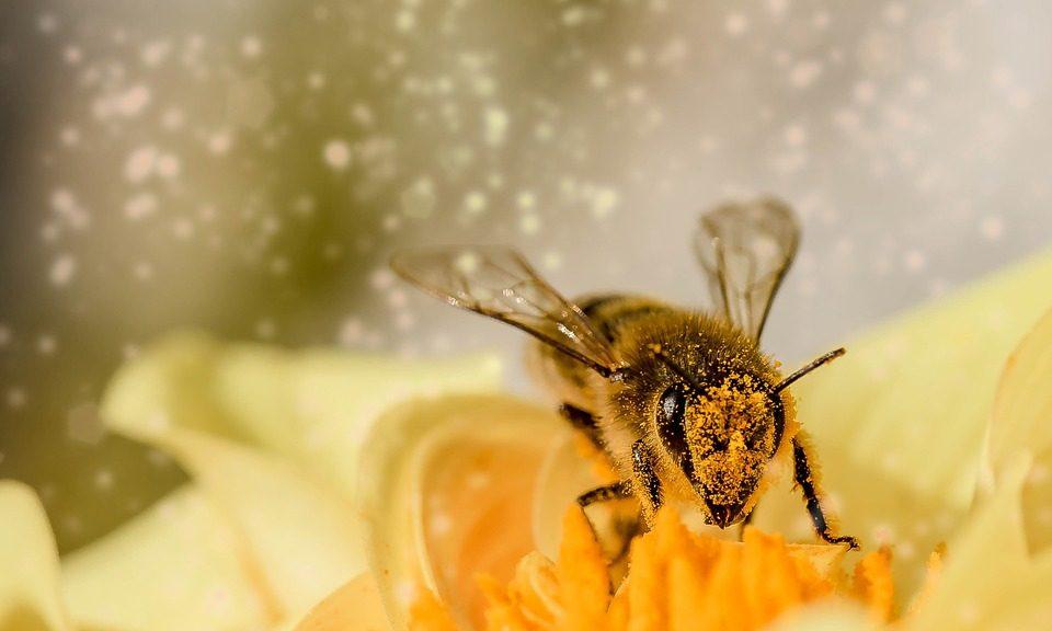 les abeilles miel