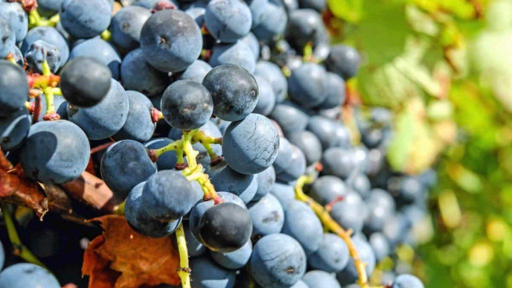 Les vins et vignobles du Lot